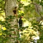 How a Pagan Goes to Church: Woodpecker Totem Song